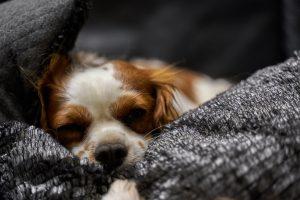 Ein Hund schläft auf einer Decke.