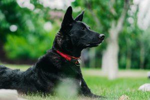 Ein wachsamer Hund beim Hundetraining.